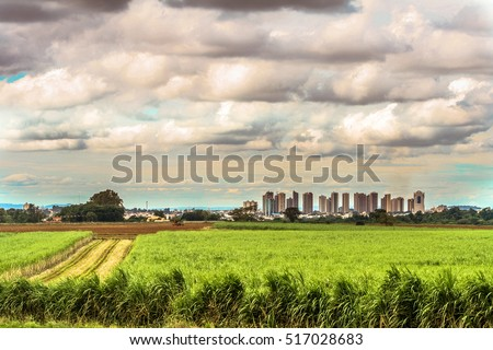 Sugar cane field with urban landscape in the background