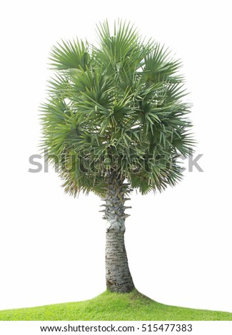 Sugar palm tree on green grass isolated on white background