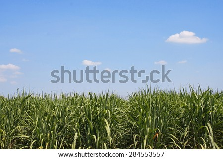 Sugarcane plantation field with blue sky in Thailand