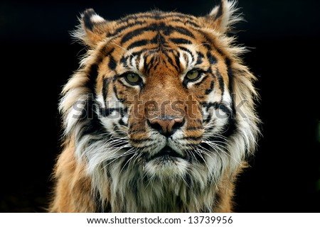 asian single women in tiger Tiger - love compatibility  so they are popular among girls in marriage life, they have a strong sense of dominance, for they want their wife to act in their ways  romantic, independent, trendy females born in the year of the tiger chase romantic affairs, and they look forwards to perfect relationship in films and novels they are.