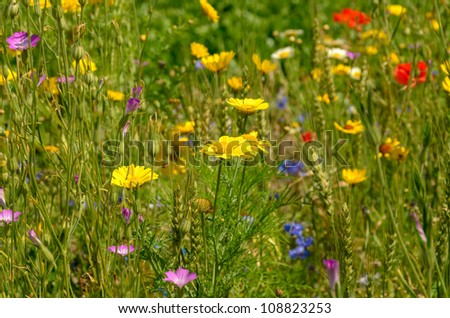 Summer field with a mixture of wild flowers