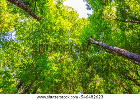 summer green forest, trees uplift to a sky