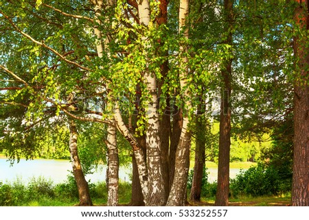 summer in birch forest on the shore of  lake