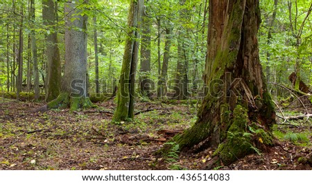 Summertime deciduous stand of Bialowieza Forest with dead trees partly declined and old hornbeam moss wrapped in foreground,Bialowieza Forest,Poland,Europe
