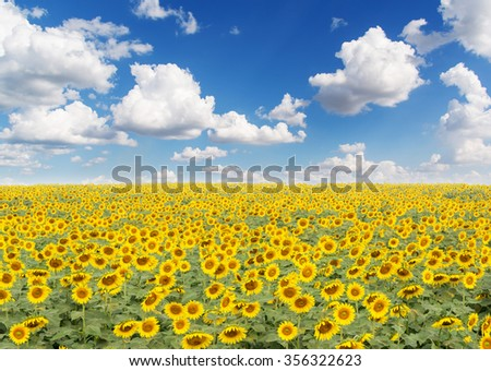 Sun flowers field with blue sky background