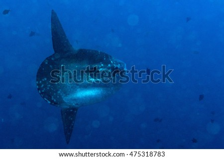 Sunfish mola mola fish underwater portrait close up while diving bali indonesia