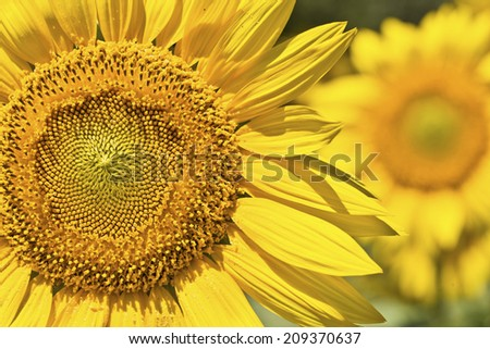 Sunflower,