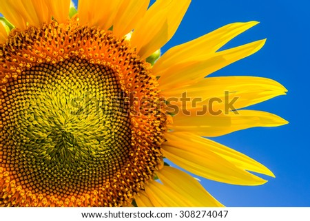 Sunflower detail 2