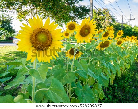 sunflower field picture blooming - photo #23