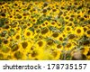 Sunflower field during bright summer day - stock photo