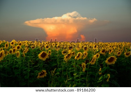 Sunflower field with an impending storm in the backgroup.