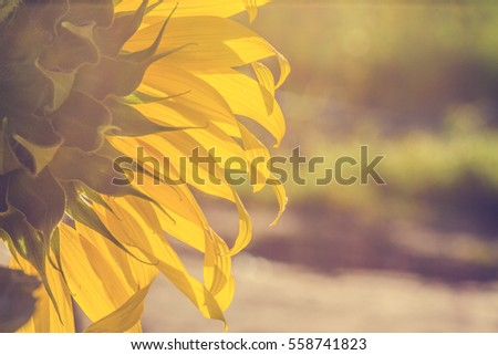 Sunflower on sunshine