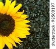 sunflower with seeds - stock photo