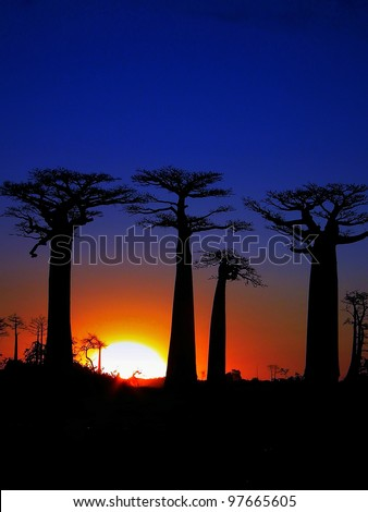 Sunset of the Baobab trees in Madagascar