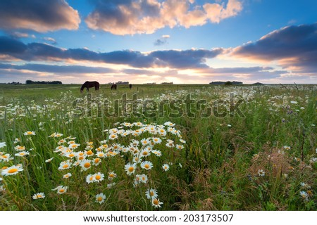 sunset over summer meadow with chamomile flowers and horses