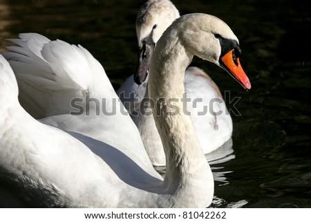 white swan asian singles The white swan public house call menu info 1001 fairview avenue n seattle, wa 98109 white burgundy, louis michel, 'montmain', 1er cru, burgundy, fr, 2014.