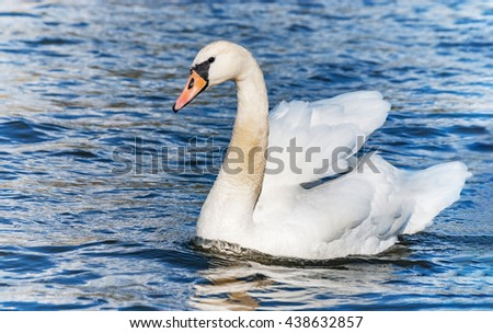Swan lake pond river blue young