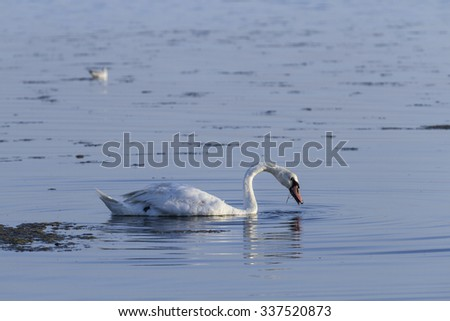 Swan looks for food in the sea.