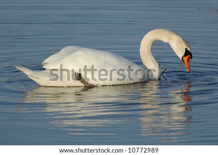Swan on a pond