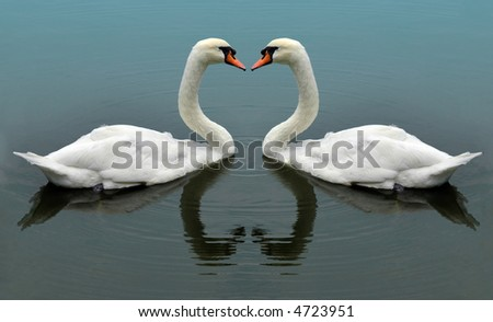 Swans swimming together.