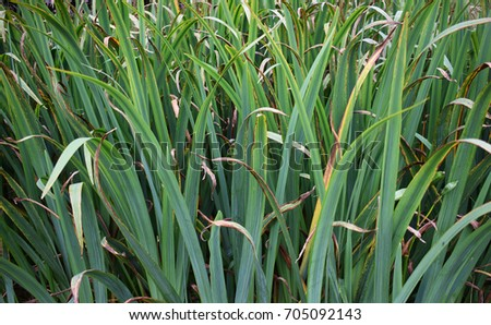 Liriope grass like perennial variegated foliage stock for Variegated grass with purple flower