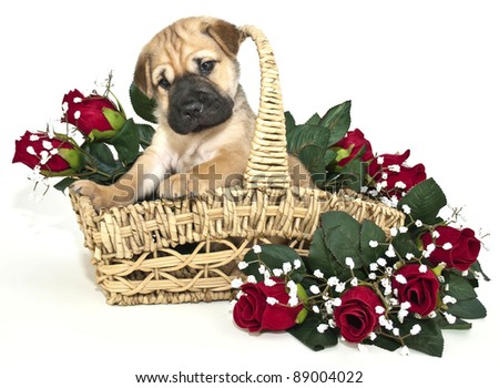 Sweet Shar Pei Puppy In A Basket With Red Roses Around Her, On A White