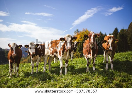 Swiss cows in a row