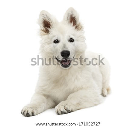 Swiss shepherd dog puppy lying panting 3 months old isolated on