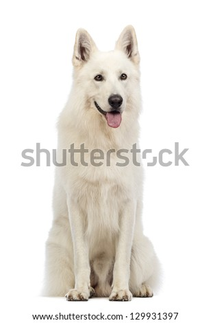 Swiss Shepherd dog, 5 years old, sitting, panting and looking away in front of white background