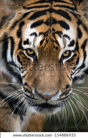 Beautiful Amur Tiger Stock Photo 265176158 - Shutterstock