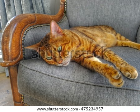 Tabby cat relaxing on a antique chair