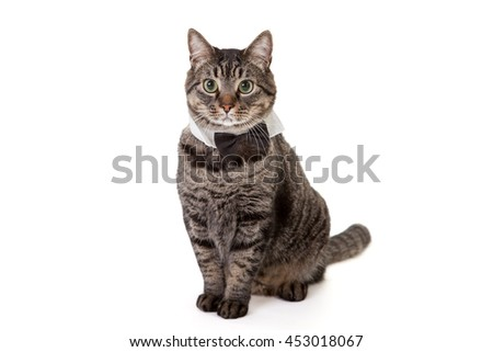 Tabby cat standing wearing tuxedo collar bowtie costume isolated on white background