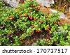 Taiga vegetation on soil, ripe cranberries. Russia, Eastern Yakutia, a ridge of Suntar-khayata, river Suntar. - stock photo