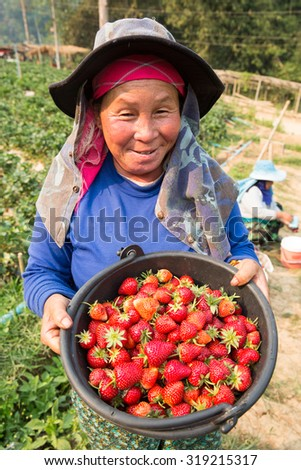 TAK THAILAND - MARCH16 : Unidentified Lahu hill tribe is carrying baskets full of strawberries in farm at Doi Musoe, Tak, Thailand on MARCH16, 2015