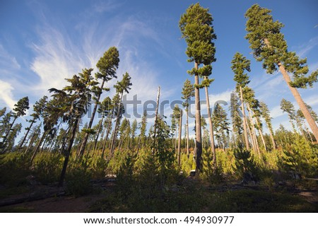 Tall pine trees with green foliage at the top, in a rare woods, exposed to wind and sun, fixed in a cloudy blue sky, forming a complete picture of the miraculous natural harmony.