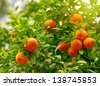 Tangerines on a tree branch - stock photo