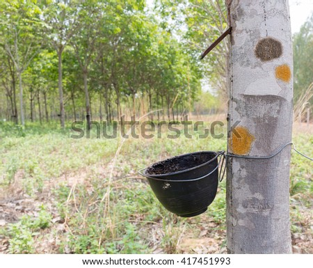 Tapping latex from a rubber tree,rubber tree is plants economy.