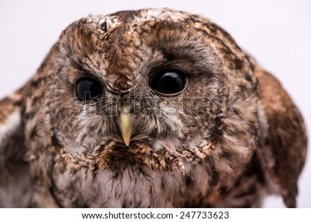 Tawny Owl. Tawny Owl isolated in white background.