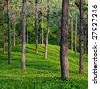 Tea Garden Detail in Tamil Nadu, India - stock photo