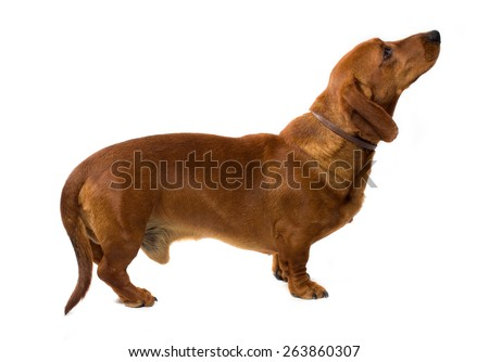 Teckel dog isolated on white background