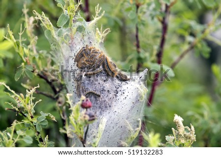 Tent Caterpillar nest in Saskatchewan Canada scenic