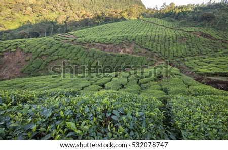 Terraced Tea Plantation in Munnar, Kerala, India