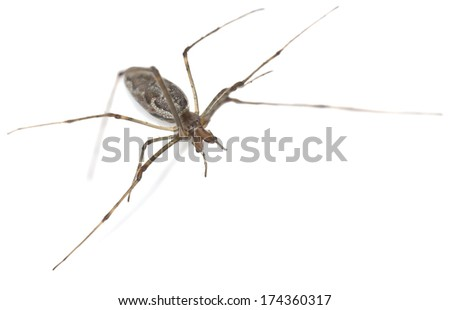 Tetragnatha spider isolated on white background
