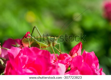 Tettigonia cantans, a species of katydids belonging to the family Tettigoniidae, sitting on a pink rose.