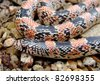 Texas Long-nosed Snake, Rhinocheilus  lecontei tessellatus - stock photo