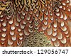 Texture pheasant feather - stock photo