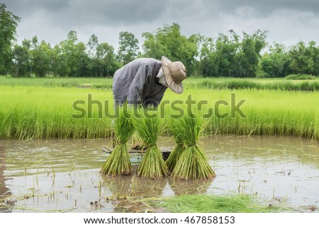 Thai farmer planting rice field on rice field in Thailand