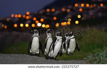 The African penguins in twilight.  (Spheniscus demersus), also known as the jackass penguin and black-footed penguin is a species of penguin.