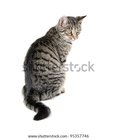 The back of a tabby cat sitting on white background