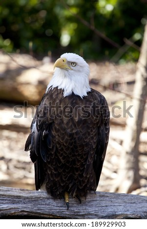 The Bald Eagle (Haliaeetus leucocephalusis) a bird of prey found in North America.